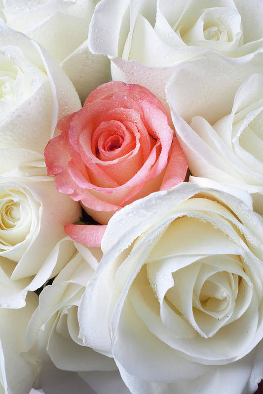Pink Rose White Roses Print featuring the photograph Pink Rose Among White Roses by Garry Gay
