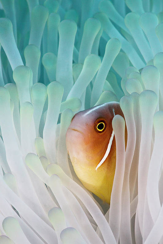 Vertical Print featuring the photograph Pink Skunk Clownfish by Liquid Kingdom - Kim Yusuf Underwater Photography