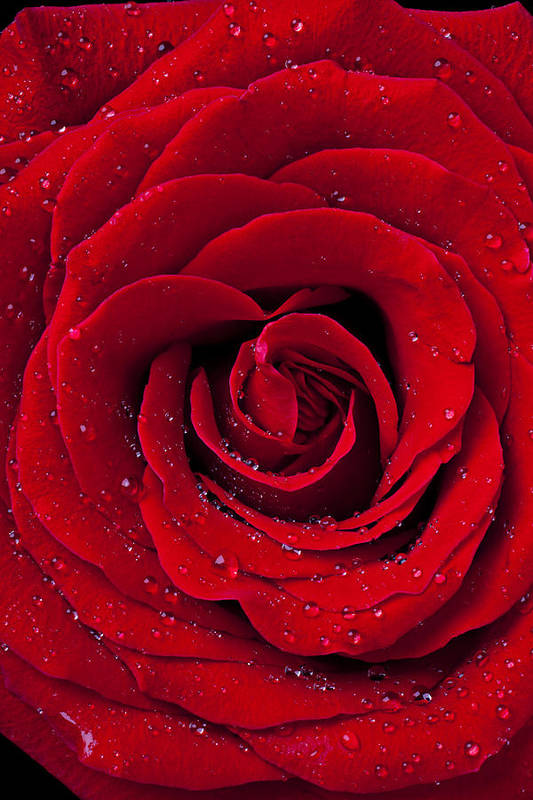 Red Print featuring the photograph Red Rose With Dew by Garry Gay