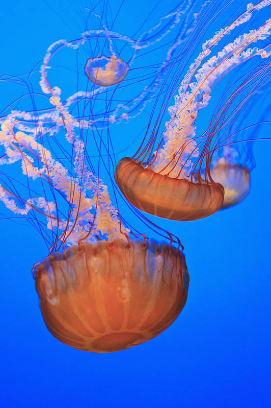 Aquarium Print featuring the photograph Sea Nettles Chrysaora Fuscescens In by Stuart Westmorland