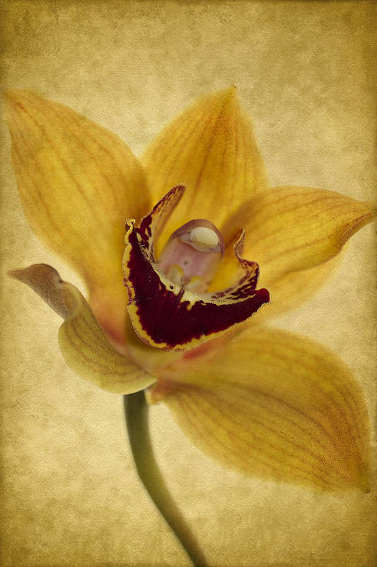 Orchid Print featuring the photograph Singular Sensation by Rebecca Cozart