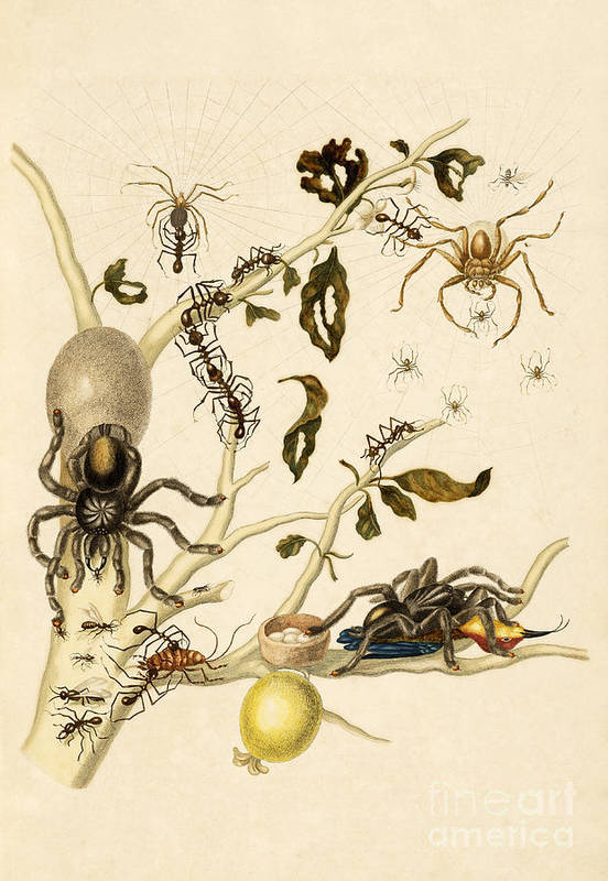 Branch Print featuring the photograph Ants Spiders Tarantula And Hummingbird by Getty Research Institute