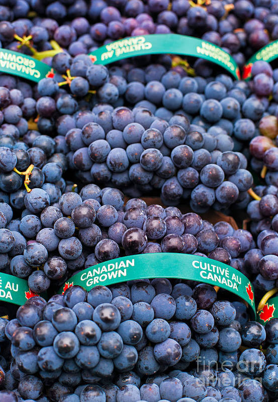 Concord Print featuring the photograph Concord Grapes by Mary Smyth