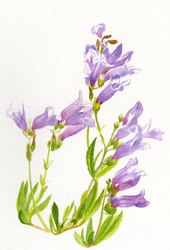 Penstemon Print featuring the painting Lavender Penstemon Wildflowers by Sharon Freeman