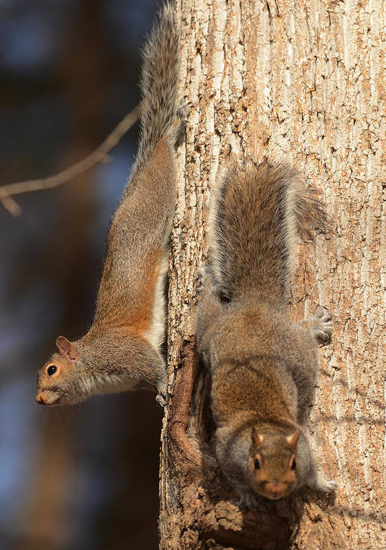 Mammal Print featuring the photograph Squirrels by Eric Abernethy