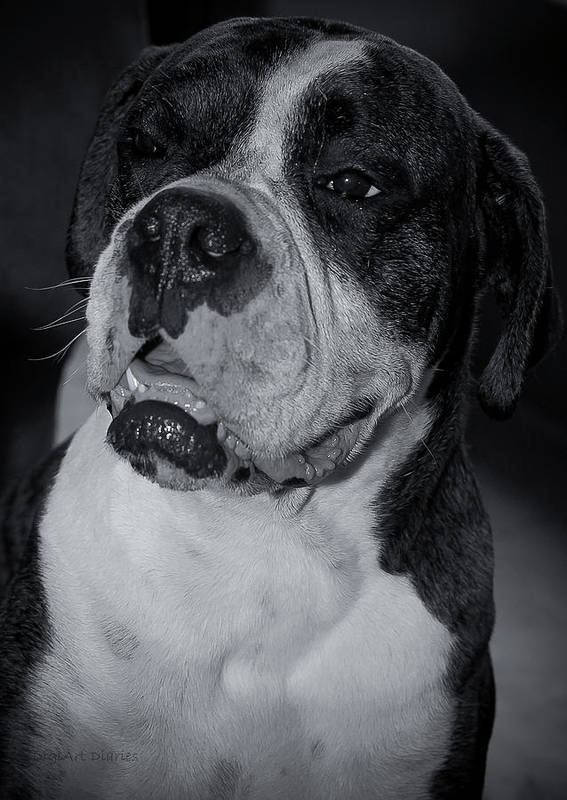 Boxer Print featuring the photograph Just Handsome II by DigiArt Diaries by Vicky B Fuller