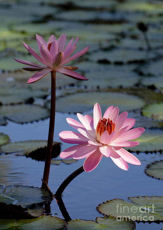 Landscape Print featuring the photograph Pink Water Lily In The Spotlight by Sabrina L Ryan