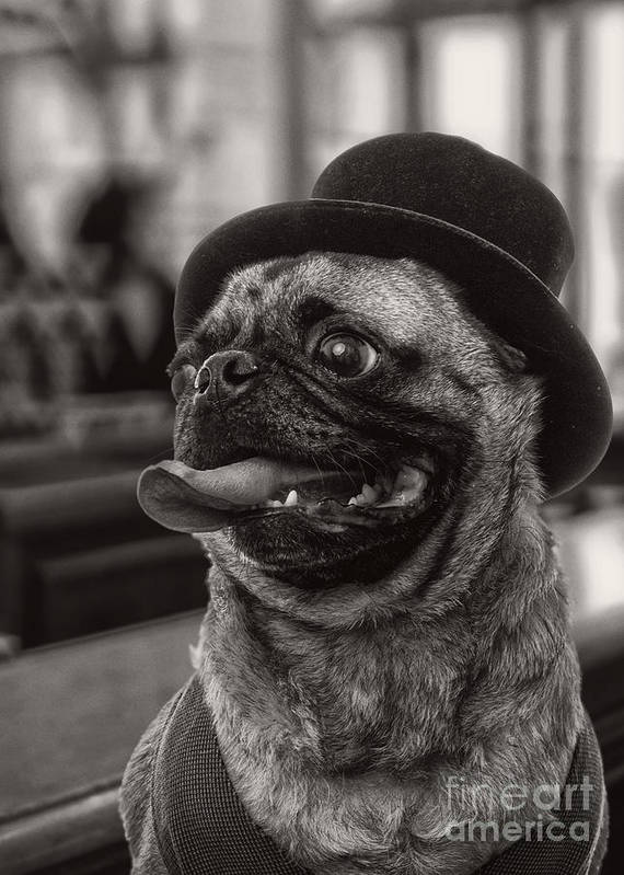Pug Print featuring the photograph Last Call Pug Greeting Card by Edward Fielding