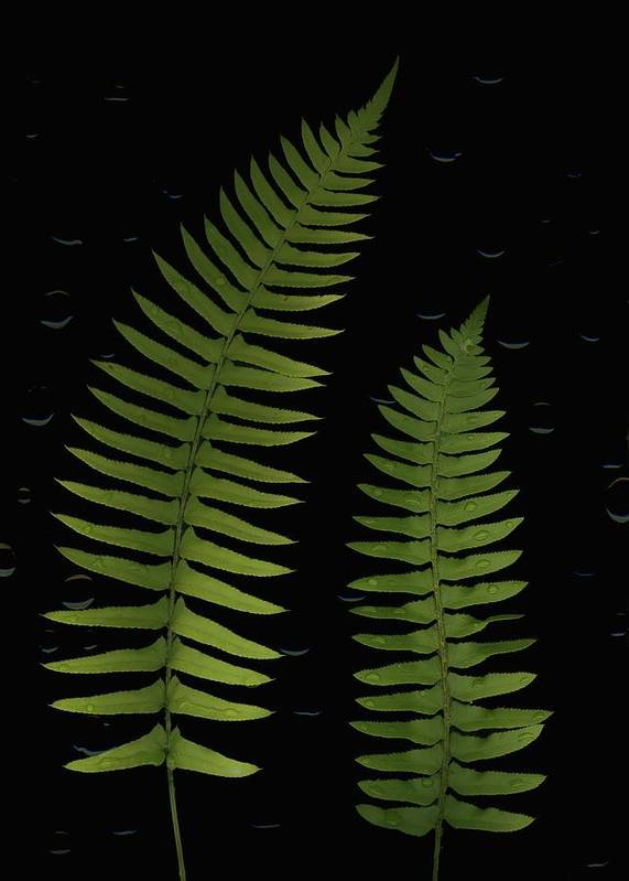 Composites Print featuring the photograph Fern Leaves With Water Droplets by Deddeda