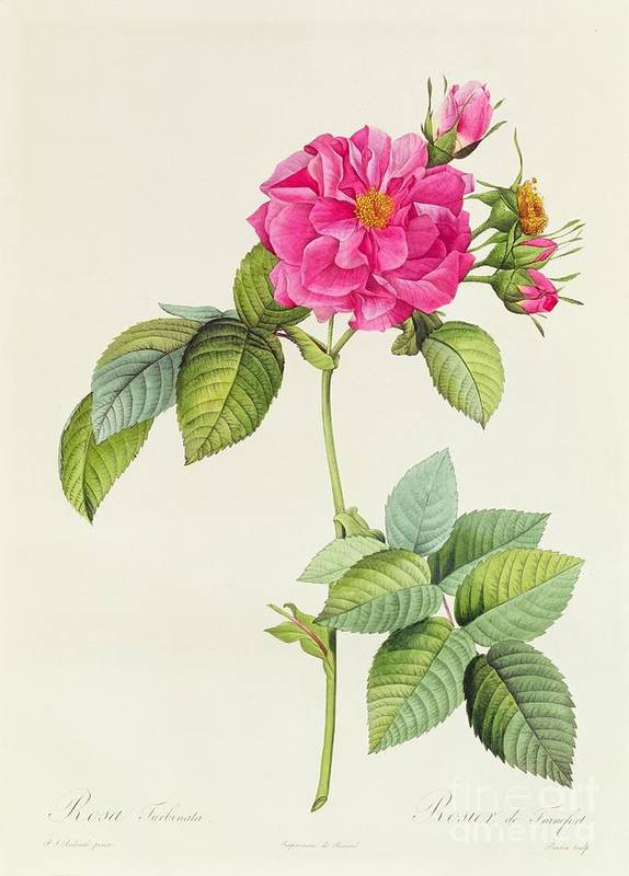 Rosa Print featuring the drawing Rosa Turbinata by Pierre Joseph Redoute