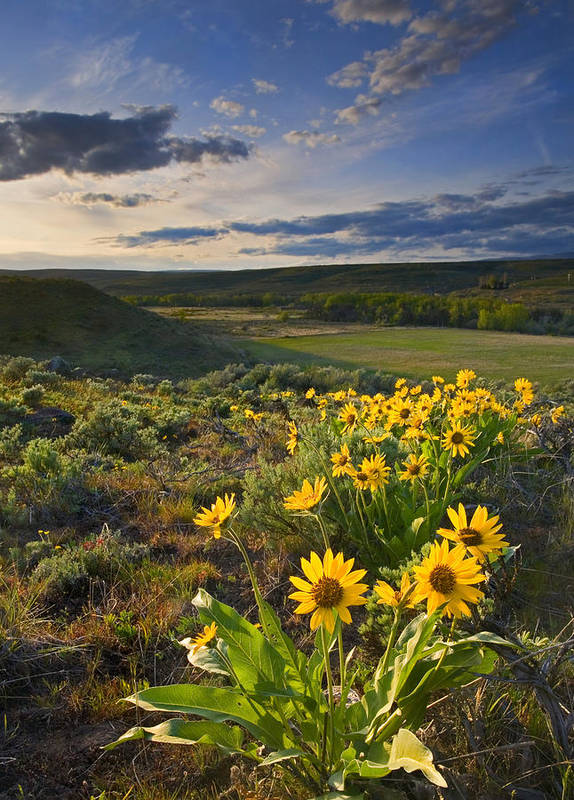 Balsamroot Print featuring the photograph Golden Hills by Mike Dawson