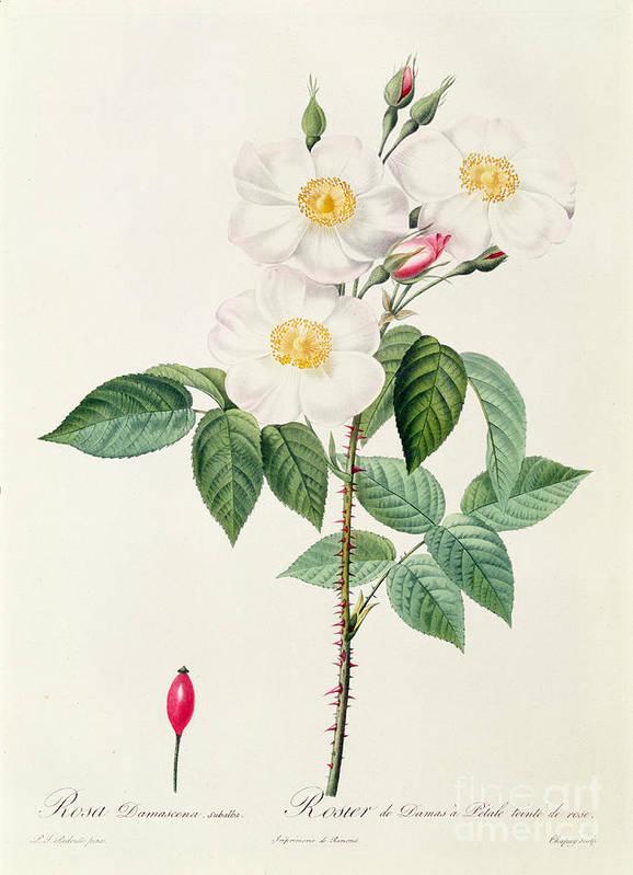 Rosa Print featuring the drawing Rosa Damascena Subalba by Pierre Joseph Redoute
