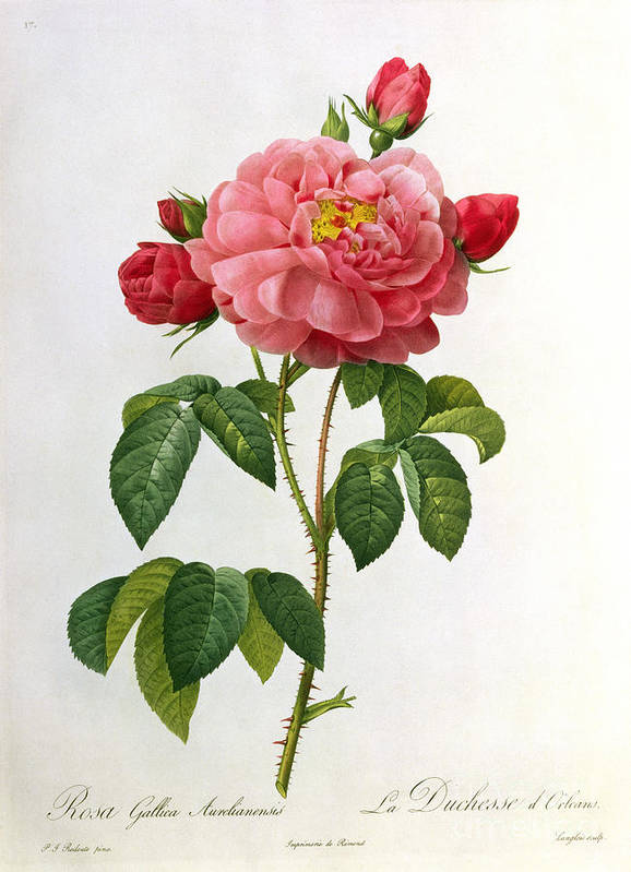 Rosa Print featuring the drawing Rosa Gallica Aurelianensis by Pierre Joseph Redoute
