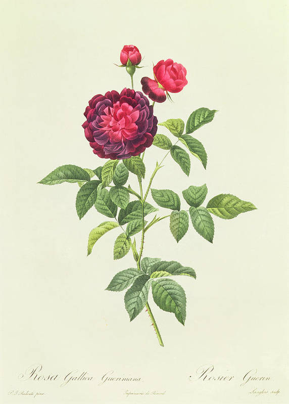Rosa Print featuring the drawing Rosa Gallica Gueriniana by Pierre Joseph Redoute
