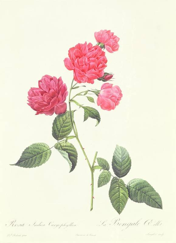 Rosa Print featuring the drawing Rosa Indica Caryophyllea by Pierre Joseph Redoute