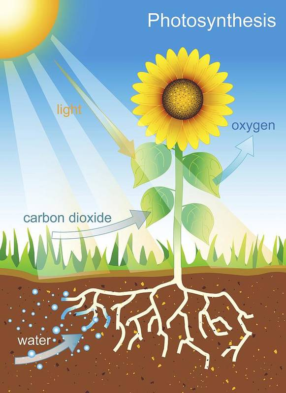 Plant Print featuring the photograph Photosynthesis, Illustration by David Nicholls