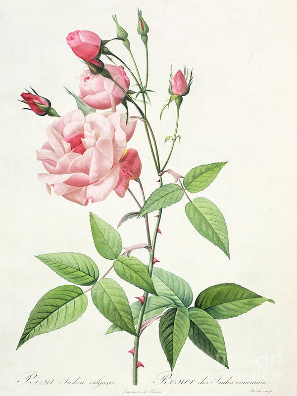 Rosa Print featuring the drawing Rosa Indica Vulgaris by Pierre Joseph Redoute