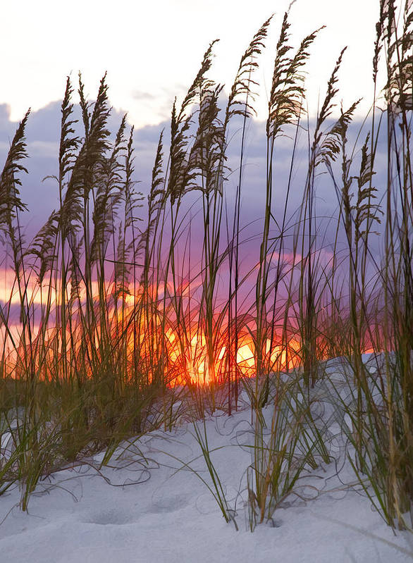 Sea Oats Print featuring the photograph Golden Amber by Janet Fikar