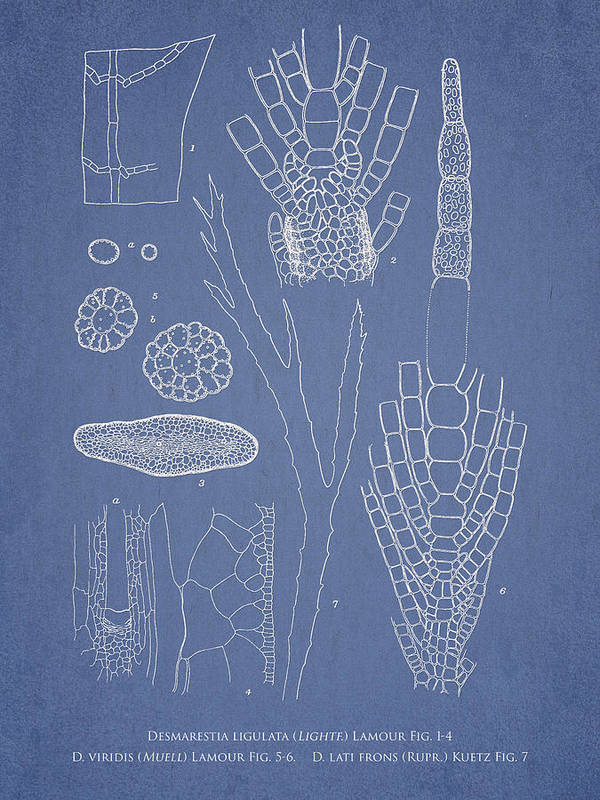 Algae Print featuring the drawing Desmarestia Ligulata by Aged Pixel