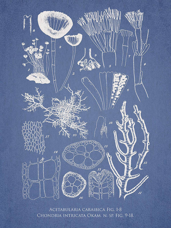 Algae Print featuring the drawing Acetabularia Caraibica And Chondria Intricata by Aged Pixel
