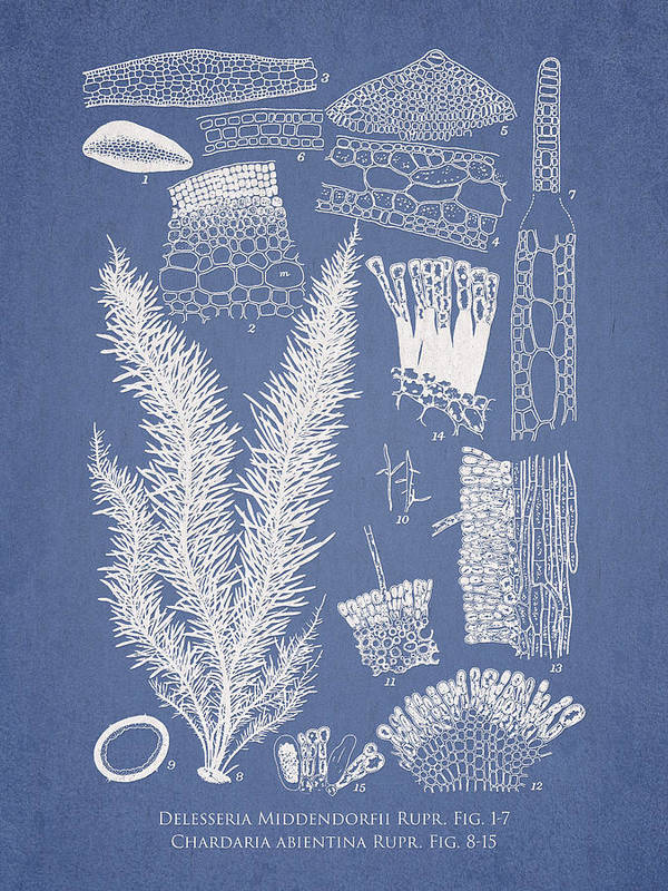 Algae Print featuring the drawing Delesseria Middendorfii And Chardaria Abientina by Aged Pixel