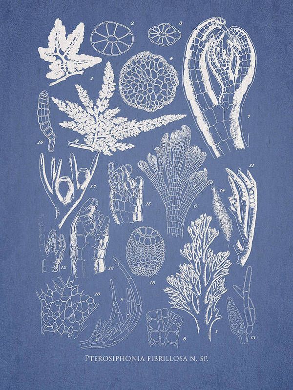 Algae Print featuring the drawing Pterosiphonia Fibrillosa by Aged Pixel