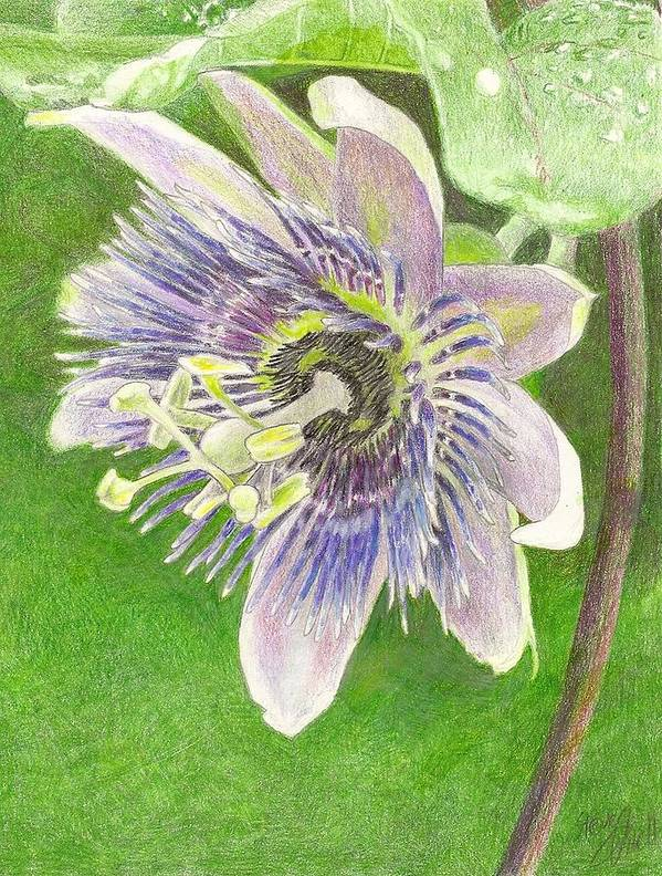 Passiflora Print featuring the drawing Passiflora Alatocaerulea by Steve Asbell