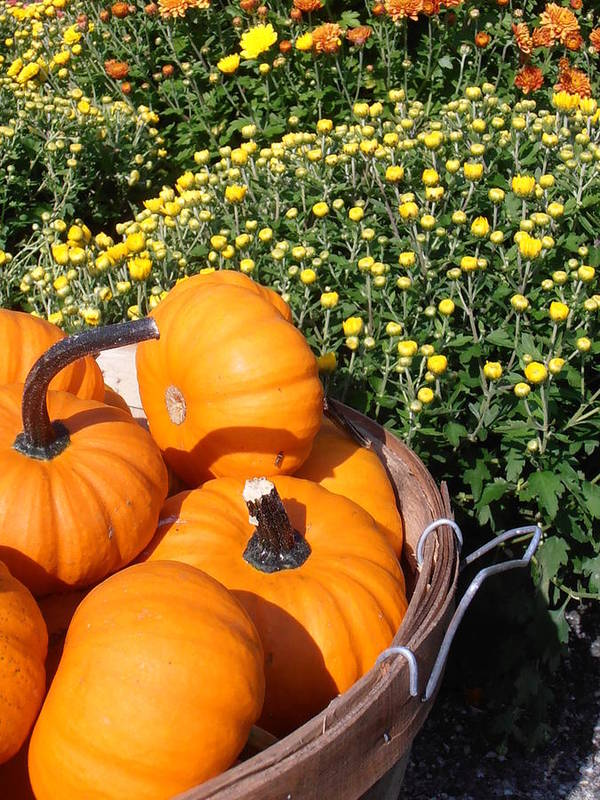 Pumpkins Print featuring the photograph Mini Pumpkins by Kimberly Perry