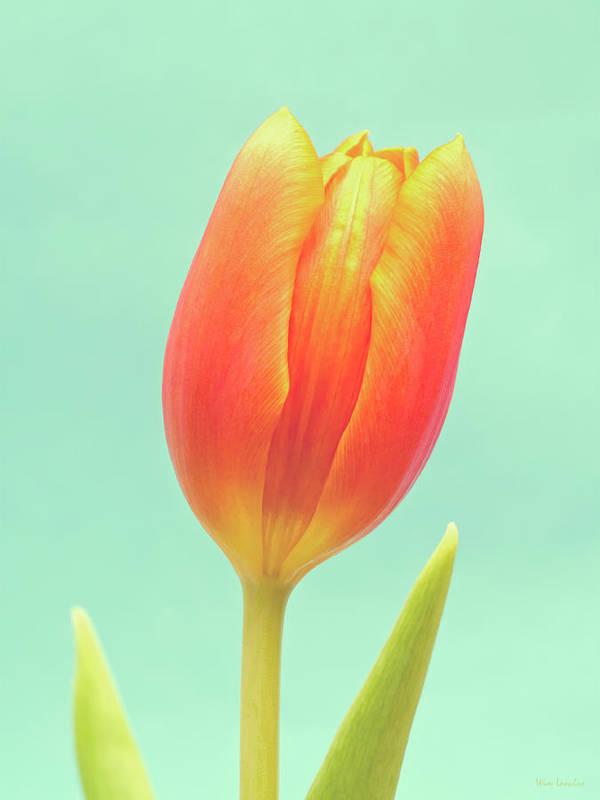 Tulip; Orange; Flower; Blue; Background; Green; Colorful; Close-up; Closeup; Beauty; Beautiful; Natural; Nature; Single; One; Vertical; Negative Space; Nobody; Bloom; Blossom; Easter; Spring; Flora; Season; Stem; Leaf; Petals; Petal; Leaves; Dutch; Elegant; Fragile; Photography; Fine Art; Wim Lanclus; Art; Floral; Springtime; Delicate; Vibrant; Vivid; Minimal; Simple; Minimalism; Simplism; Minimalistic Print featuring the photograph Tulip by Wim Lanclus