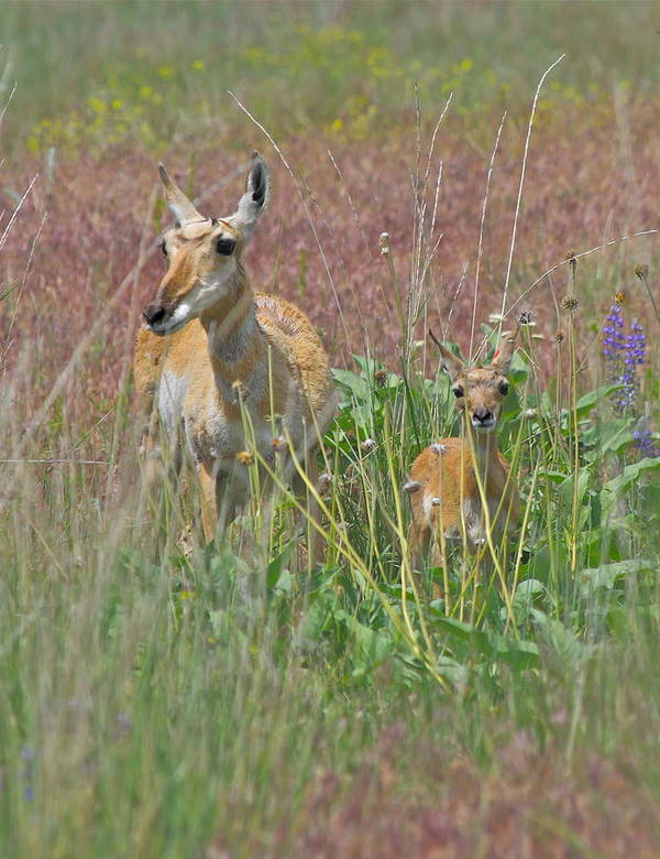 Pronghorn Print featuring the photograph Pronghorn Doe And Fawn by Karon Melillo DeVega