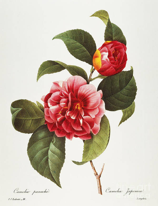 1833 Print featuring the photograph Camellia, 1833 by Granger
