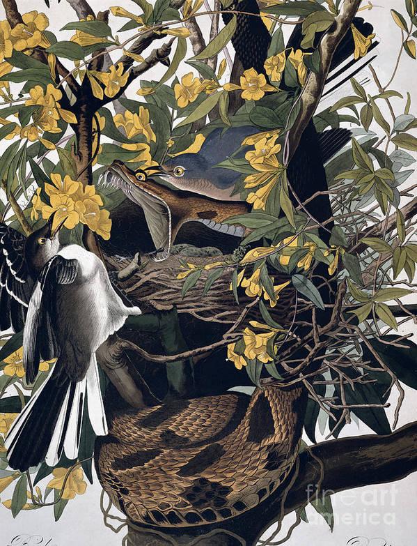 Mocking Birds And Rattlesnake Print featuring the drawing Mocking Birds And Rattlesnake by John James Audubon