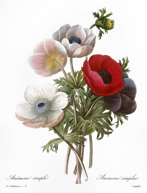 1833 Print featuring the photograph Redoute: Anemone, 1833 by Granger