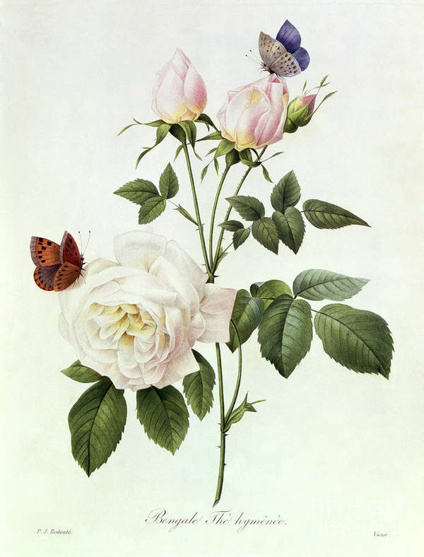 Rosa Print featuring the painting Rosa Bengale The Hymenes by Pierre Joseph Redoute