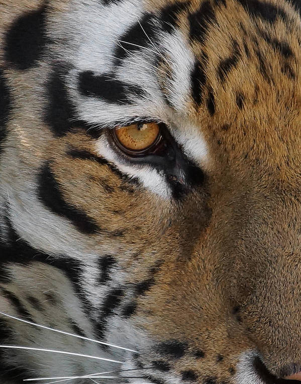 Tiger Print featuring the photograph Eye Of The Tiger by Ernie Echols