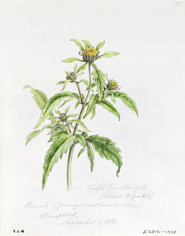 Botanical Drawing; Botany; Yellow Flowers; Flower; Plant Print featuring the painting Marigold by WJ Linton