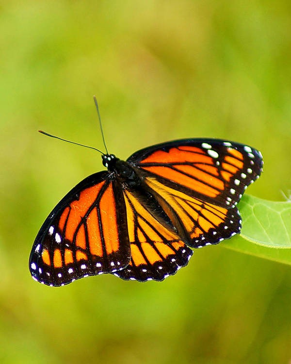 Monarch Print featuring the photograph Monarch Butterfly by Carol Toepke