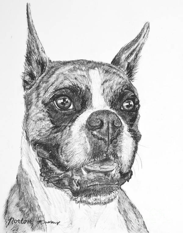 Boxer Print featuring the drawing Boxer Dog Sketch by Kate Sumners
