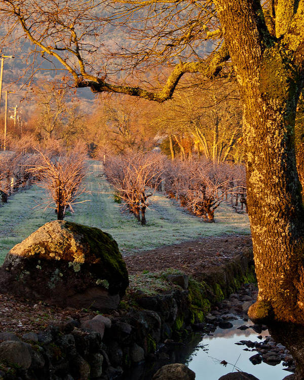 Oak Print featuring the photograph Frost In The Valley Of The Moon by Bill Gallagher