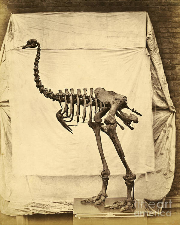 Moa Print featuring the photograph Heavy Footed Moa Skeleton by Getty Research Institute