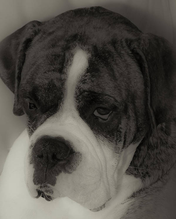 Boxer Print featuring the photograph Angelic Boxer by DigiArt Diaries by Vicky B Fuller