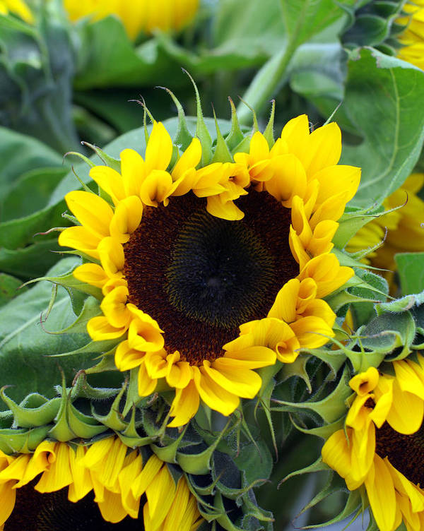 Sunflower Print featuring the photograph Sharing The Love by Linda Mishler