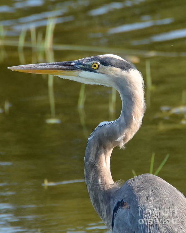 Heron Print featuring the photograph Too Close For Comfort by Carol Bradley