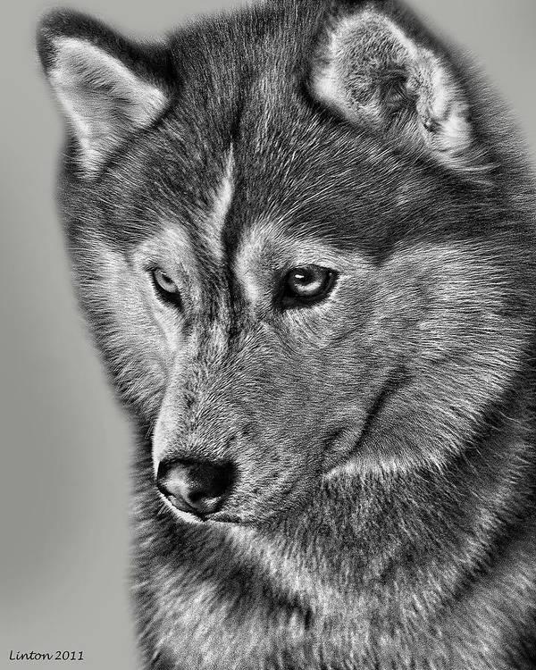 Siberian Husky Print featuring the digital art Siberian Husky 2 by Larry Linton