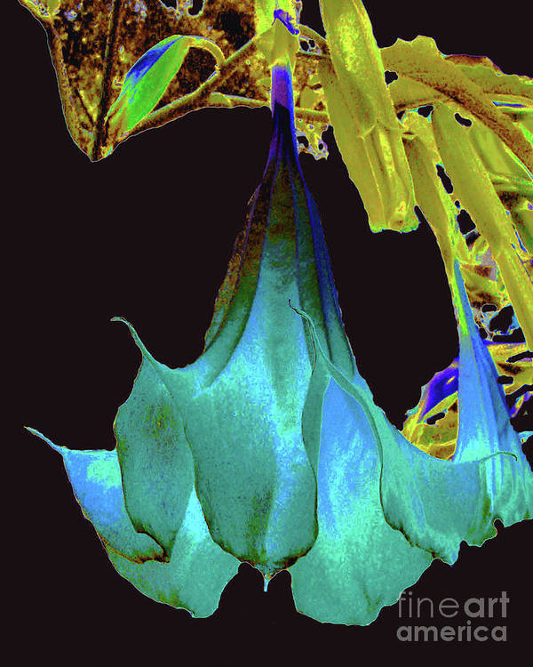 Flower Print featuring the photograph Angel's Trumpet Flower by Merton Allen