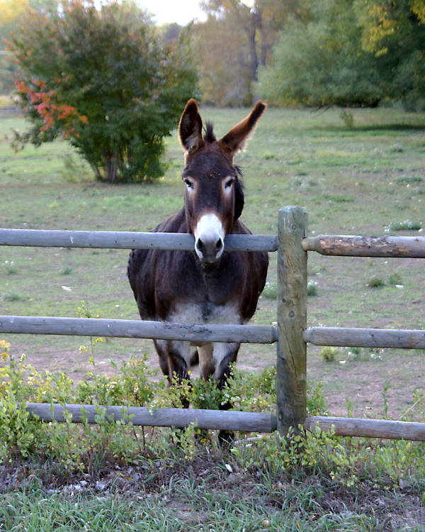 Donkey Print featuring the photograph Donkey At The Fence by D Winston