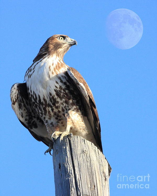 Wingsdomain Print featuring the photograph Red Tailed Hawk And Moon by Wingsdomain Art and Photography