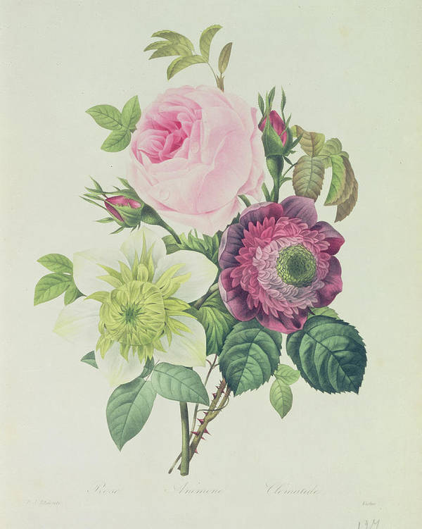 Rose Print featuring the painting Rose by Pierre Joseph Redoute