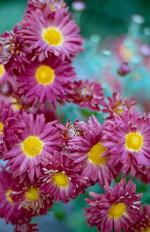 Aster Print featuring the photograph Asters by Marcio Faustino