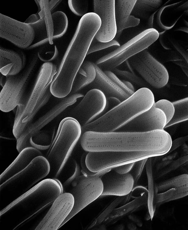 Black And White Print featuring the photograph Diatom Sem 2800x by Albert Lleal